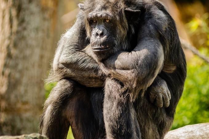 Macaco chimpanzé triste sentado pensativo