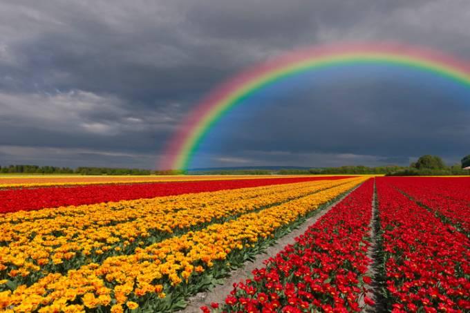 Campos de tulipas nos arredores de Keukenhof, na Holanda