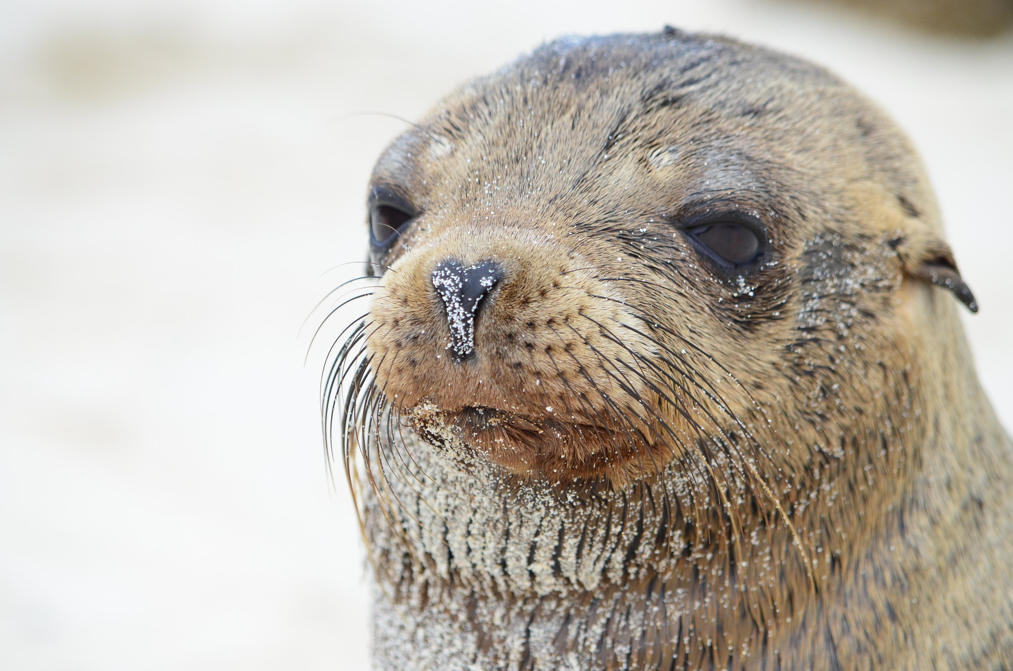 Lobo-Marinho na Ilha Galápagos