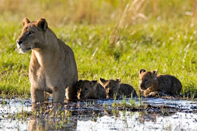 Leoa caminha com filhotes no pantano do Delta do Okavango em Botsuana África