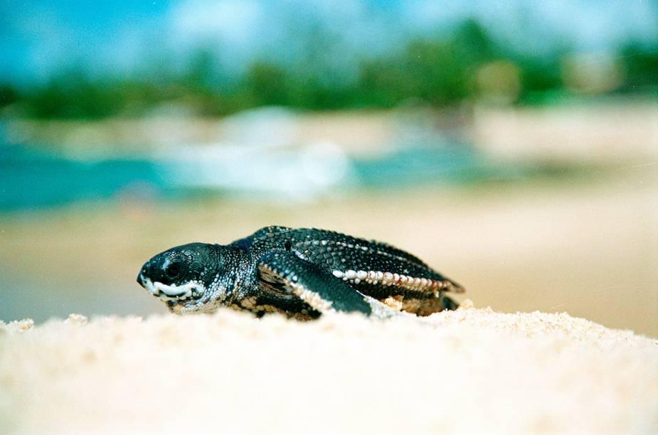 Tartaruga marinha assistida pelo projeto Tamar na Praia do Forte.