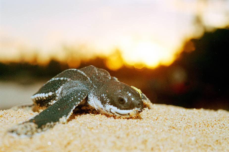 Filhote de tartaruga marinha assistida pelo projeto Tamar na Praia do Forte.