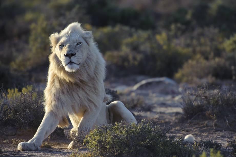 O leão branco, que de albino não tem nada, em casa na Reserva Sanbona, na África do Sul