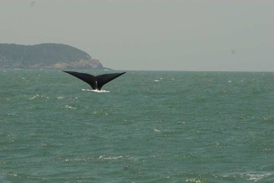 De julho a novembro, a principal atração de Imbituba são as baleias-francas e seus filhotes