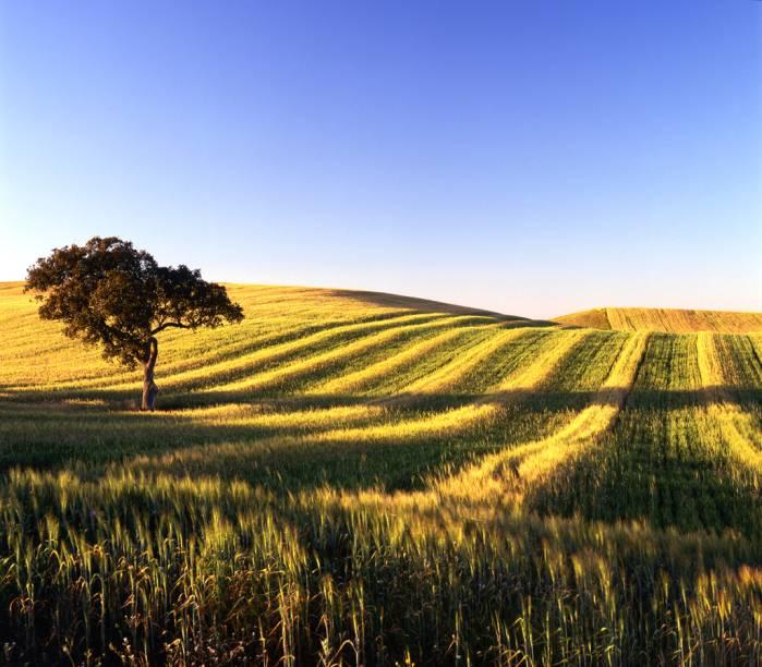 Extensos campos a perder de vista, pontilhados por oliveiras, são o cartão-postal da região do <strong>Alentejo</strong>