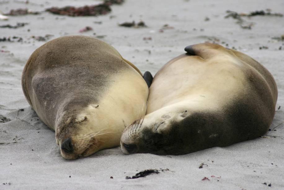 Leões-marinhos dormem em uma praia de Adelaide, na Austrália