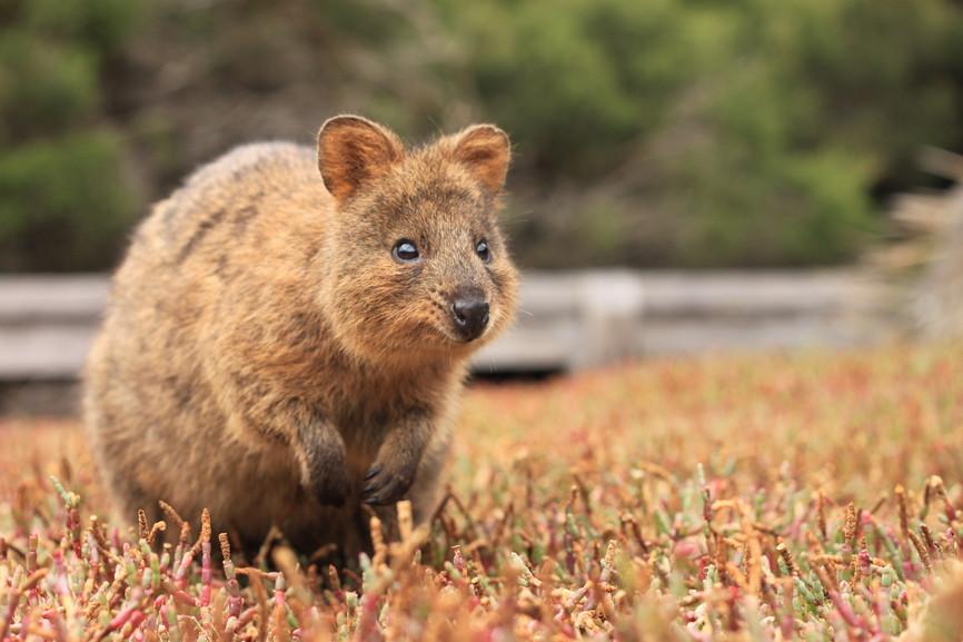 O quokka(<em>Setonix brachyurus</em>) é um pequeno marsupial endêmico da Austrália. Este exemplar foi fotografado na ilha Rottnest, próxima ao litoral de Perth