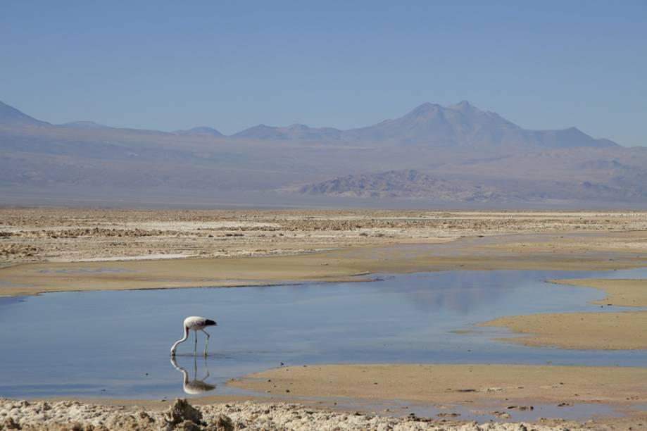 Aves migratórias como flamingos são encontradas nas lagoas do Salar do Atacama