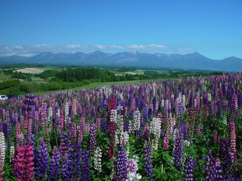 Campos de lavanda em Furano, na ilha de Hokkaido, norte do Japão