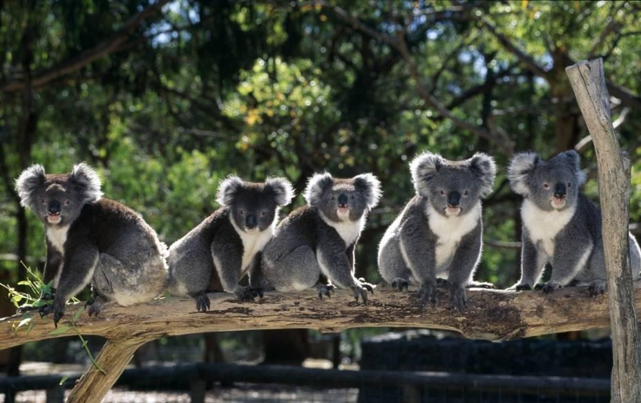 Em nenhum outro país do mundo a fauna é tão representativa e singular que na Austrália. Animais endêmicos e de feições únicas como coalas (foto), cangurus, ornitorrincos e diabos-da-tasmânia podem ser vistos em parques como o Taronga Zoo