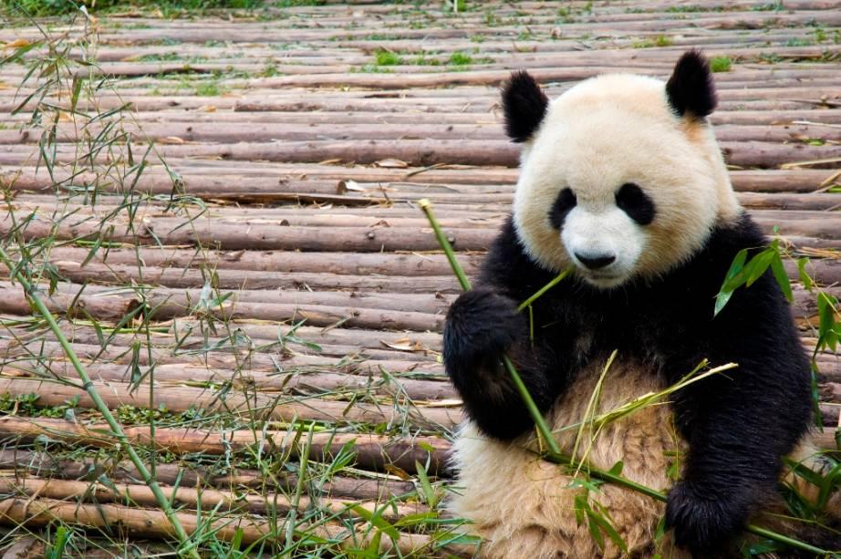 Os característicos pandas-gigantes são animais endêmicos da China, vivendo principalmente nas províncias de Shaanxi e Sichuan. Com uma alimentação a base de folhas e brotos de bambu, esses grandes mamíferos tornaram-se símbolo do conservacionismo, não só por sua graça, mas também por sua ameaçada existência.
