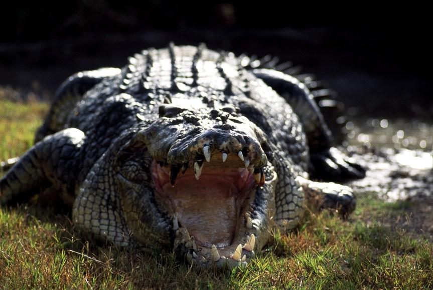 Grandes crocodilos já fizeram a fama cinematográfica de Queensland