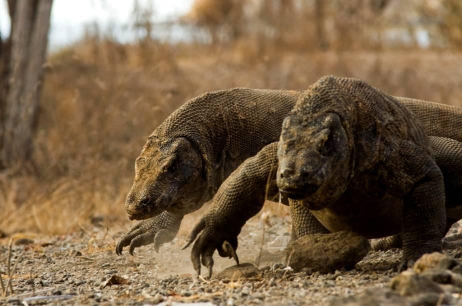 Os dragões de komodo habitam diversas pequenas ilhas da Indonésia, notadamente Komodo, no centro do arquipélago. Carnívoros ferozes, velozes e com uma saliva infestada de bactérias nocivas, são considerados os maiores lagartos da Terra