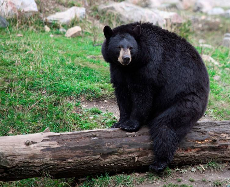"""Ursos sempre foram personagens infantis populares, de Teddy Bear a Winnie-the-Pooh, mas o urso-negro (<em>Ursus americanus</em>) das resevas florestais norte-americanas seria eternizado pelos personagens Zé Colmeia e Catatau. Tal como sua versão ficcional, esses grandes onívoros estão sempre em busca da comida dos visitantes de parques como o de Yellowstone. Não tão grandes como seus primos grizzlies, eles também serviram de inspiração para a criação de Smokey, o mascote-símbolo da luta contra os incêndios florestais. Eles podem ser vistos em diversos parques da <a href=""""http://viajeaqui.abril.com.br/continentes/america-do-norte"""" rel=""""América do Norte"""" target=""""_blank"""">América do Norte</a>, como Glacier, Yosemite e Great Smoky Mountains, onde também vivem variações de pelagem marrom"""