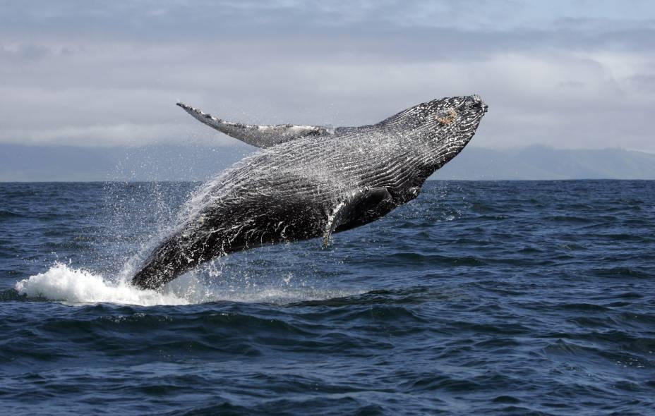 O momento de mais expectativa da Observação de baleias-jubarte é o salto, quando elas chegam a expor até 2/3 de corpo fora da água