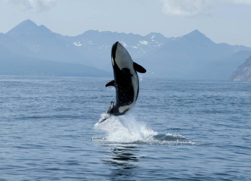 As orcas (<em>Orcinus orca</em>) foram também eternizadas em filmes como Orca, a Baleia Assassina, e Free Willy. É um dos mamíferos com maior distribuição geográfica no planeta, vivendo em praticamente todos os mares, sendo vista inclusive no Mediterrâneo e no Brasil. Além de aquários especializados, um encontro na natureza é mais fácil na baía de Vancouver, na costa da Islândia, em águas argentinas e nos mares de Behring e do Norte. Ah, e antes que nos esqueçamos, esse mamífero é o mascote dos torcedores do Peixe, vai entender...