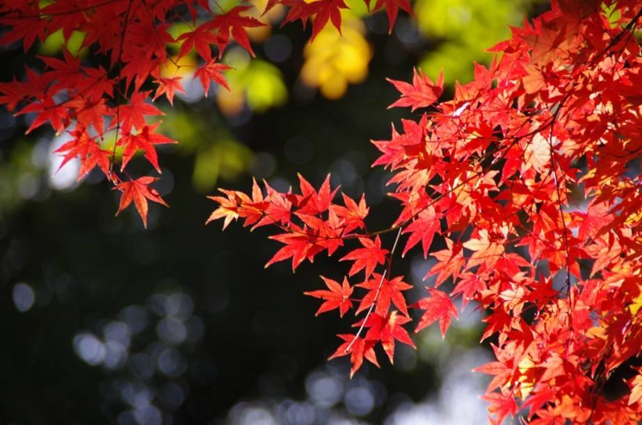 Folhagens de outono tingem de vermelho e amarelo boa parte do arquipélago japonês, formando paisagens belíssimas
