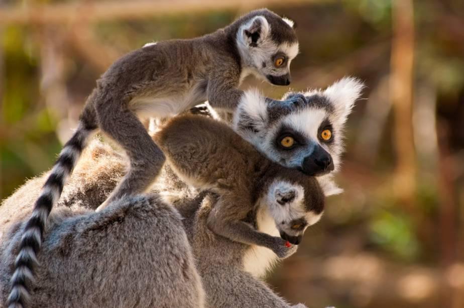Os ancestrais das muitas das espécies de lêmures que povoam Madagascar podem ter chegado à ilha em pequenas ilhas artificiais