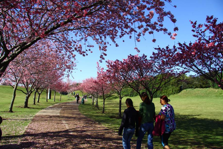 Uma vez por ano, cerejeiras dão o ar da graça no Jardim Botânico