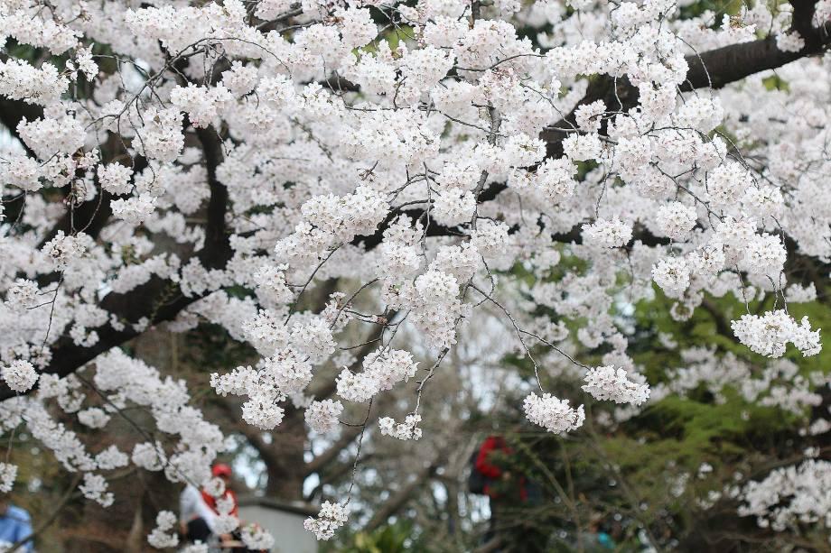 Cerejeiras no Parque Ueno