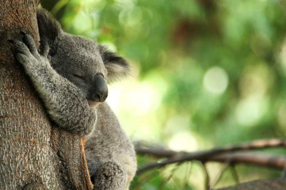 O coala pode ser visto no Taronga Zoo, principal zoológico da Austrália localizado em Sydney