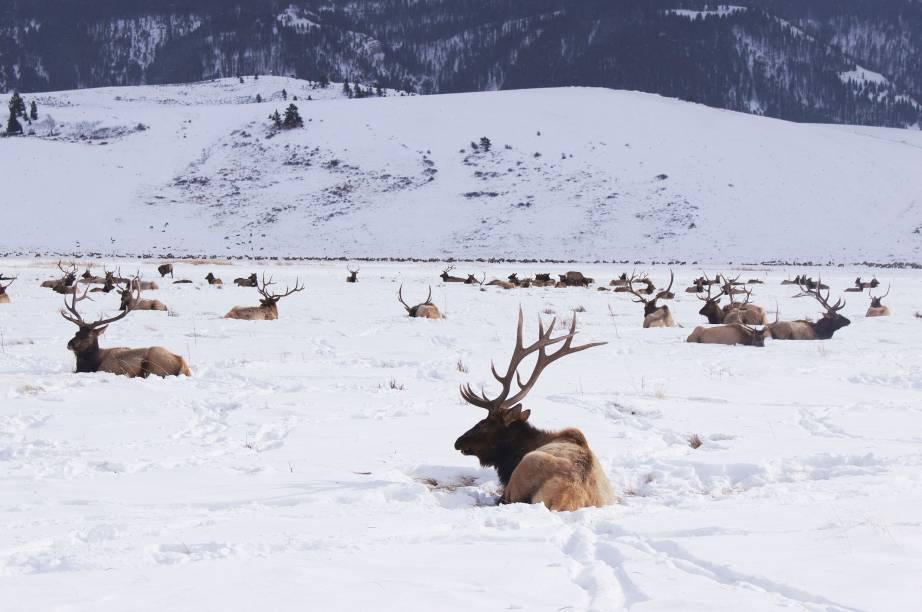 Alces cruzam a neve em Jackson Hole, Estados Unidos