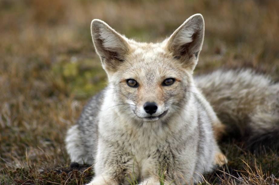 As simpáticas raposas cinzas, chamadas de zorros, habitam a região patagônica. Por causa do seu pelo, a caça predatória diminuiu o número desses animais