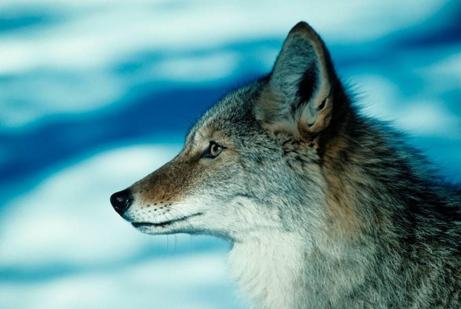 """Eterno rival do papa-léguas, o coiote (<em>Canis latrans</em>) vive em vastas áreas que se estendem entre a América Central, no sul, e <a href=""""http://viajeaqui.abril.com.br/paises/canada"""" rel=""""Canadá"""" target=""""_blank"""">Canadá</a> e Alasca, no norte. Seus uivos são importantes meios de comunicação entre os indivíduos da espécie, facilmente ouvido nas pradarias de Novo México, Arizona e Nevada. Na cultura popular, além do personagem Wilie E. Coyote, o animal batiza o time de hóquei Phoenix Coyotes e também os traficantes de imigrantes ilegais na fronteira mexicana com os Estados Unidos"""