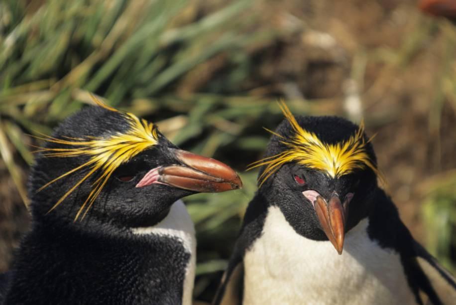 O impagável personagem Lovelace, de <em>Happy Feet</em>, é baseado nos pinguins macaroni (<em>Eudyptes chrysolophus</em>), que podem ser vistos em ambientes como as Ilhas Geórgia do Sul, o sul de Argentina e Chile, as Ilhas Malvinas e partes da península antártica