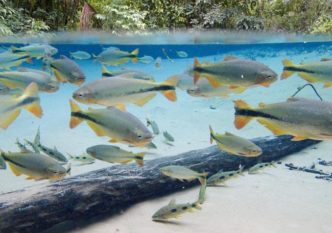 Piraputangas nas águas cristalinas na nascente do rio Salobra, no Aquário Encantado - como é chamada essa região pelos moradores locais do distrito de Bom Jardim, que pertence a Nobres, no Mato Grosso.