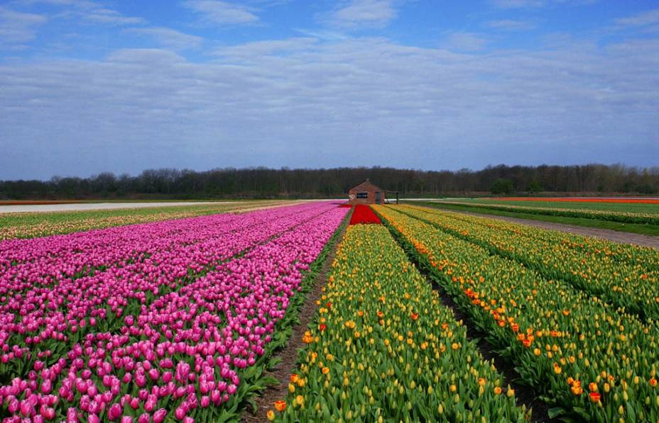 Campo de flores na cidade de Haarlem, nos arredores de Amsterdã