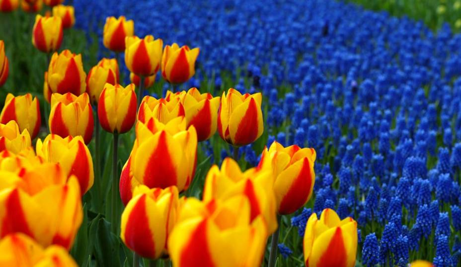 No parque botânico de Keukenhof, em Lisse, as tulipas são atração principal. Milhares de flores da espécie ficam expostas algumas semanas por ano em enormes jardins