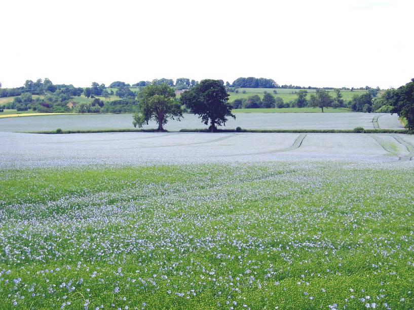 Na primavera, é comum se deparar com campos floridos. Na foto, uma plantação de linhaça