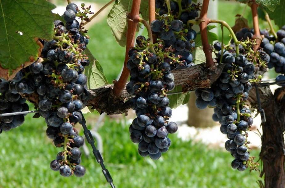Uvas prontas para a colheira na Vinícola Miolo, Bento Gonçalves, Rio Grande do Sul