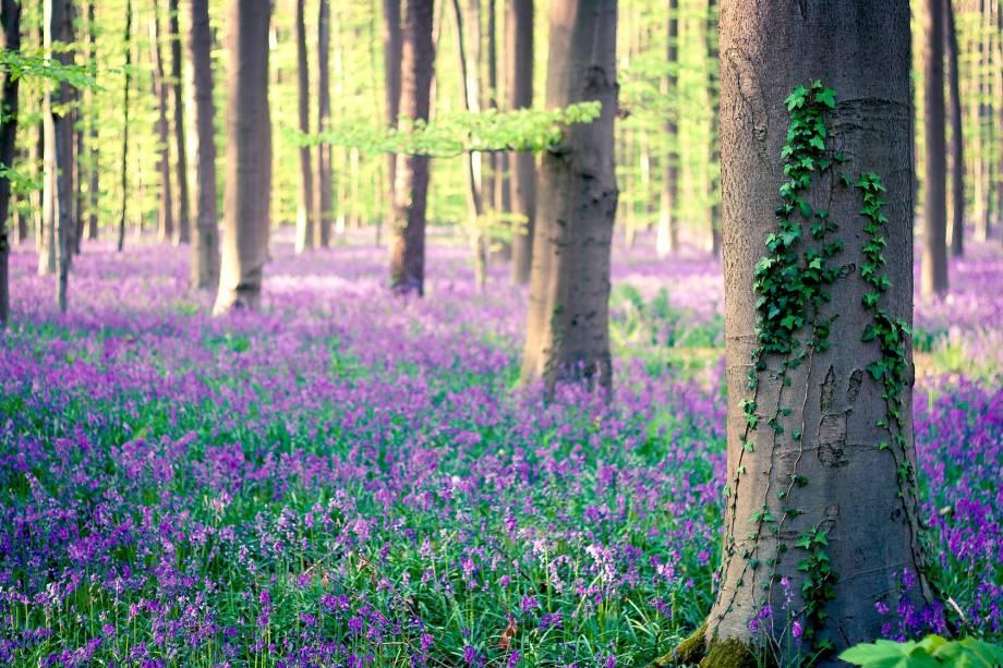 """Um dos cantos mais bucólicos da Bélgica é a floresta Hallerbos, também conhecida como Floresta Azul <strong><a href=""""http://viajeaqui.abril.com.br/materias/florestas-encantadas-pelo-mundo"""" rel=""""LEIA MAIS"""" target=""""_blank"""">LEIA MAIS</a></strong>"""
