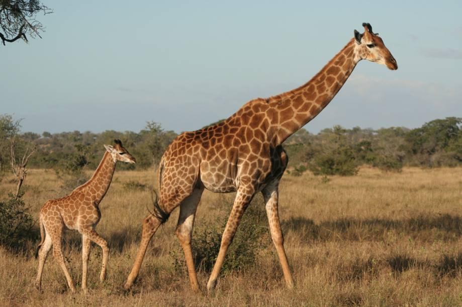 Mais de 5 mil girafas vivem no Kruger Park