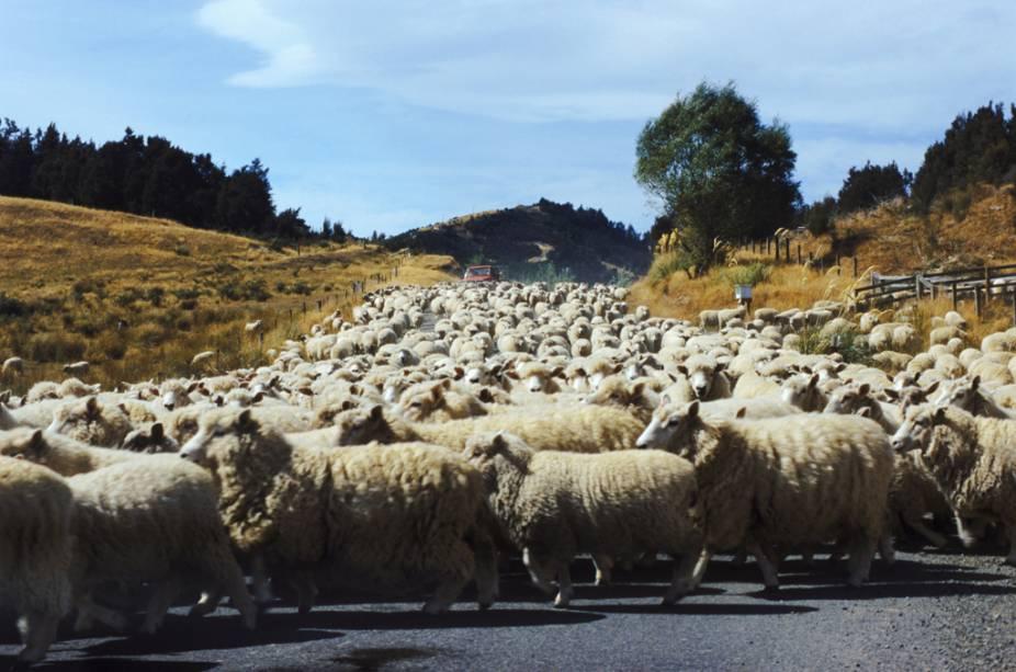 Rebanho de ovelhas na Nova Zelândia