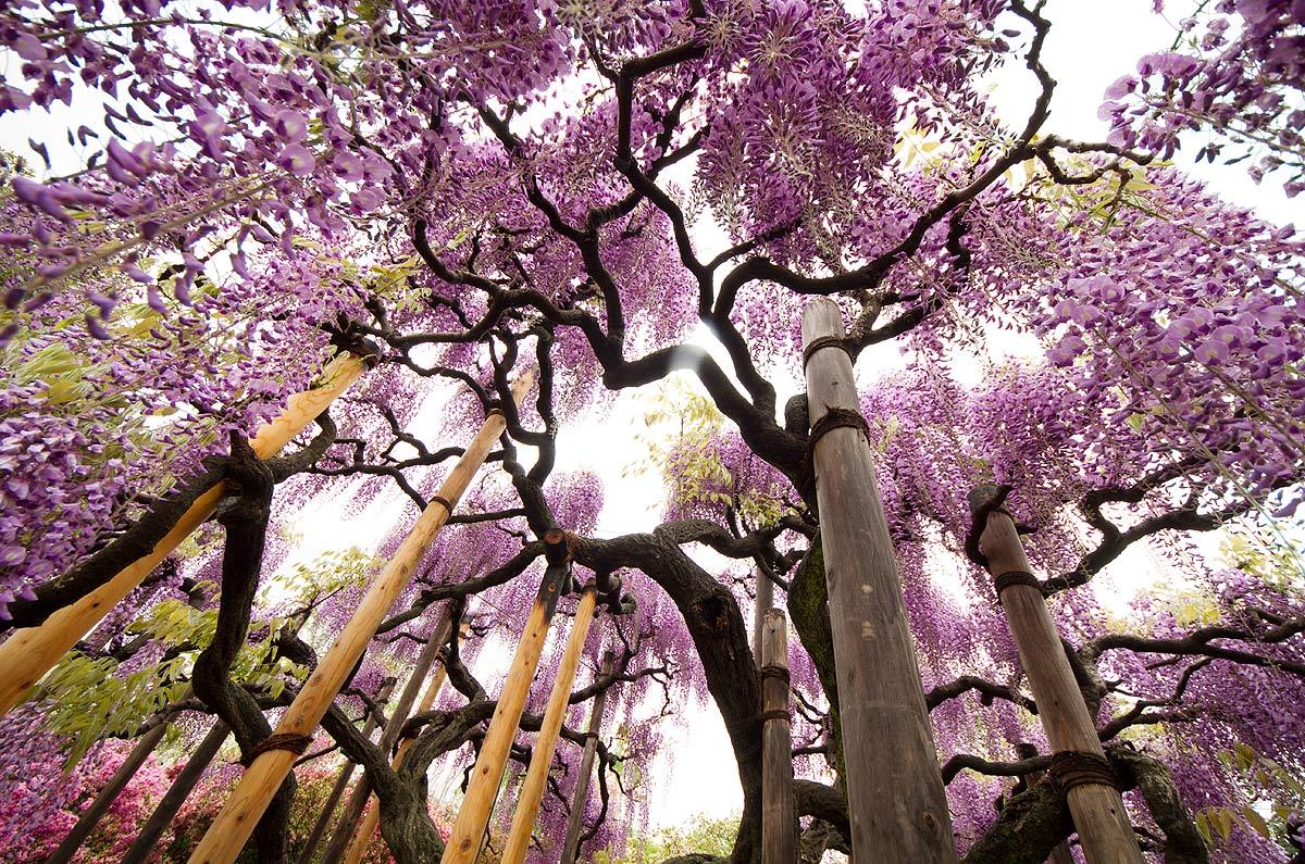 Wisterias floresce no Parque Ashikaga, no Japão