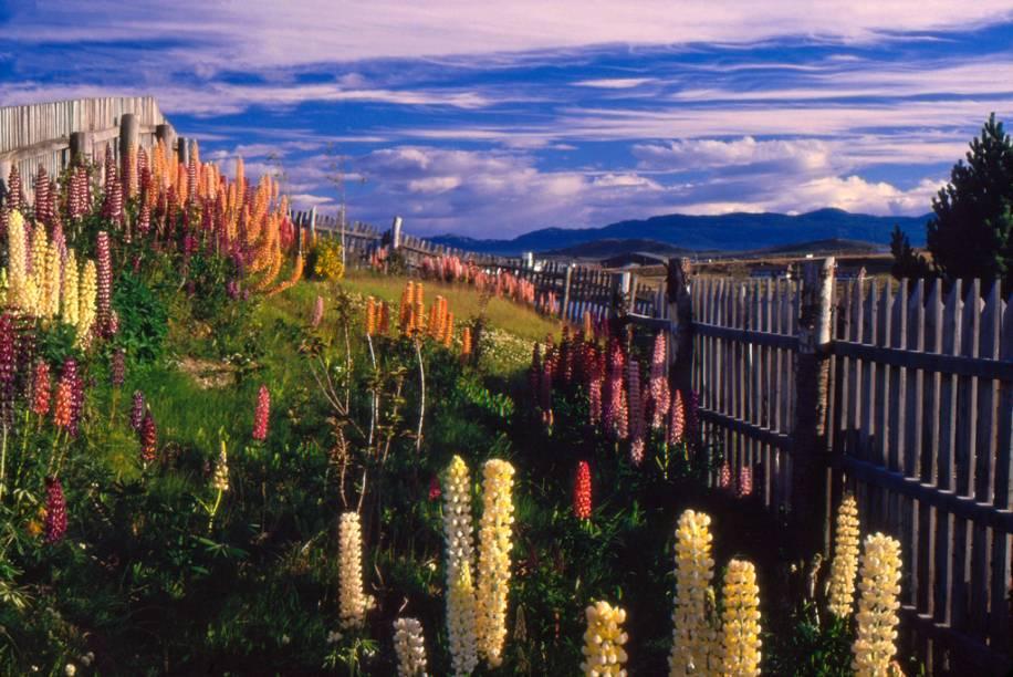 As flores de lupino foram trazidas pelos colonizadores e se adaptaram bem à região patagônica. Resistentes e coloridas, a floração ocorre na primavera e verão