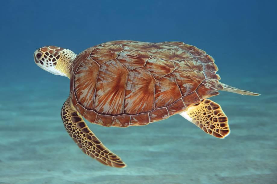 "Tartaruga-verde na Playa Forti, em Westpunt, <strong><a href=""http://viajeaqui.abril.com.br/cidades/curacao-e-bonaire-willemstad"" rel=""Curaçao"" target=""_blank"">Curaçao</a></strong>"