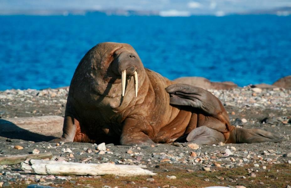Presente nos clássicos <em>I am the Walrus</em> e <em>Come Together</em>, dos Beatles, e personagem da série do <em>Pica-Pau</em> como o mal-humorado Wally Walrus, o Leôncio, de Walter Lantz, as bonachonas morsas são um dos animais mais facilmente identificáveis na natureza. Pertencente à ordem dos pinípedes, da qual também fazem parte leões marinhos e focas, elas podem pesar mais de uma tonelada e vivem em terras junto ao Círculo Polar Ártico