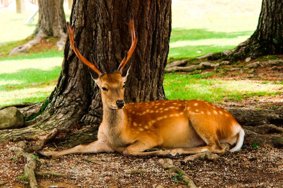 Veado descansando no Parque Nara, onde dezenas deles vivem soltos