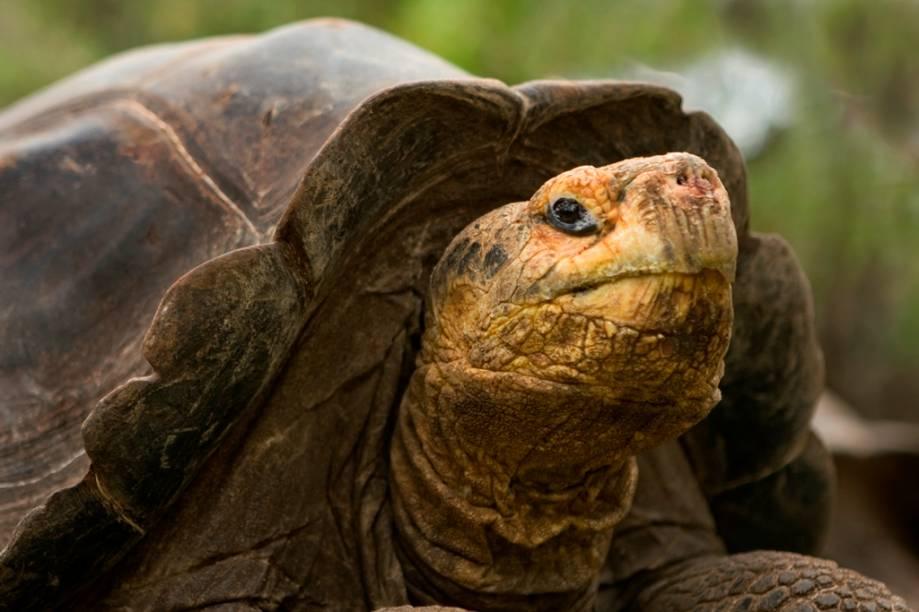 As tartarugas de Galápagos (<em>Chelonoidis nigra</em>) são os animais vertebrados que mais vivem no planeta. Enquanto que na natureza elas normalmente chegam aos cem anos, espécimes capturados vão muito além. Um exemplar que pertenceu a Charles Darwin morreu em 2006, aos 176 anos de idade