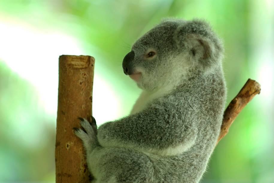 Os simpáticos coalas (Phascolarctos cinereus) é mais uma das intrigantes espécies de marsupiais australianos. Vivendo no sul e leste do país, eles passam quase toda a vida sobre árvores, alimentado-se de folhas de eucalipto