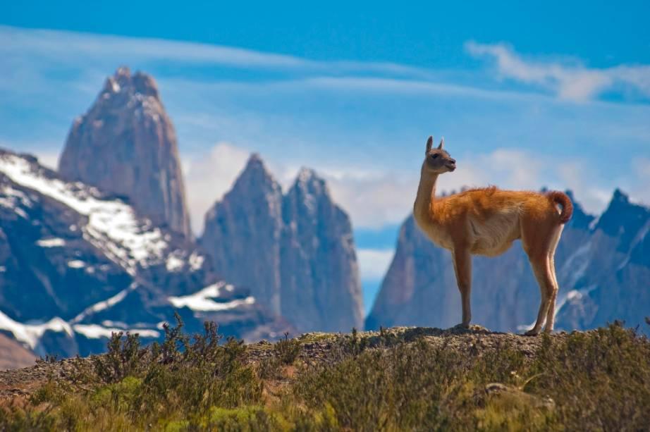 Os guanacos são camelídeos onipresentes na paisagem patagônica. Parentes das alpacas e lhamas, eles podem ser vistos em grandes manadas em regiões áridas e montanhosas da Bolívia, Peru, Argentina e Chile