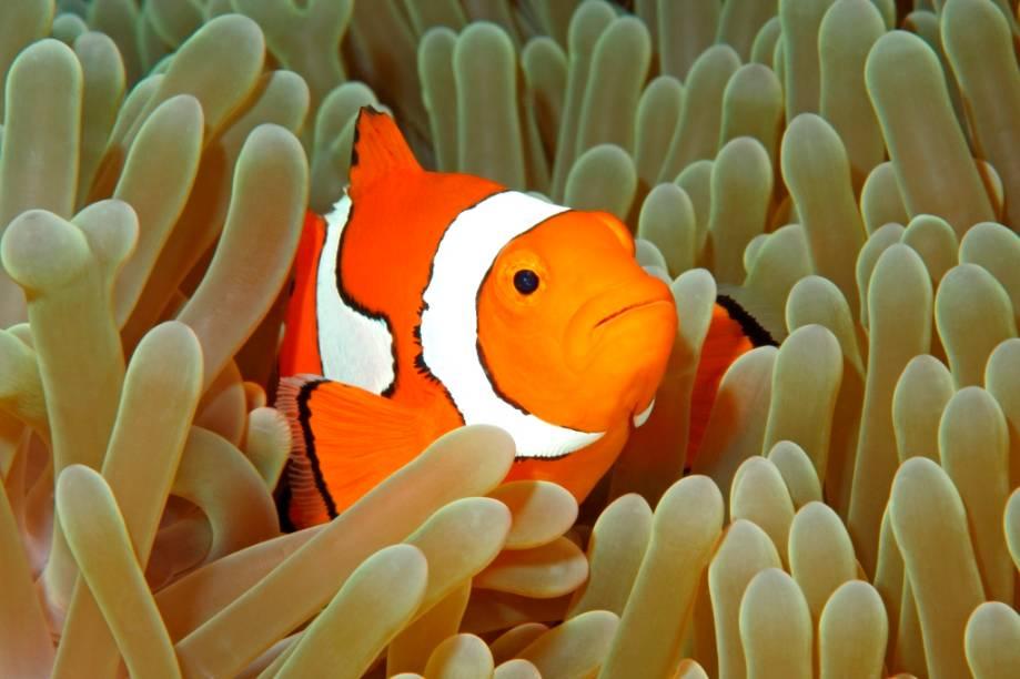 Ele sempre foi um dos mais simpáticos habitantes dos recifes de coral mundo afora, mas o filme <em>Procurando Nemo </em>levou a popularidade do peixe-palhaço (gênero <em>Amphiprion</em>) a níveis de pop-star. São dezenas de espécies diferentes, com exemplares negros e outros rosas, além do conhecido laranja e branco, vivendo entre anêmonas de lugares tão distintos como as ilhas Maldivas, Japão, Taiwan, Indonésia, Egito e Austrália.