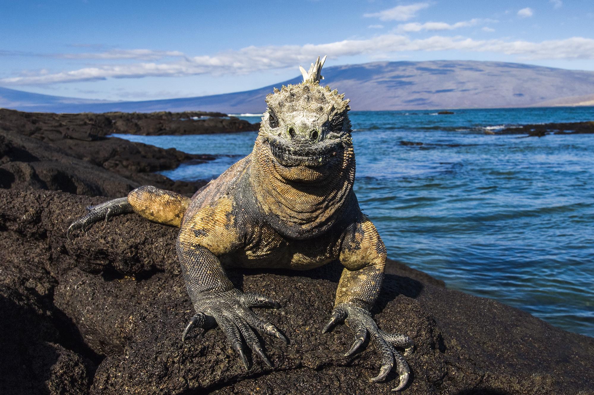 Iguana-marinho, em Galápagos, Equador