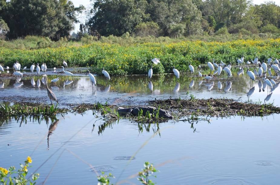 <strong>Airboat tour</strong>                                                                        O Condado de Polk, no centro da Flórida e ao sul de Orlando, possui mais de 500 lagos - muitos deles repletos de jacarés. Quem se aventura em um passeio de airboat tem grandes chances de dar de cara com um legítimo alligator