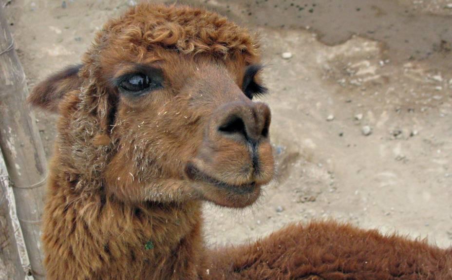 A simpática alpaca vive na Huaca Pucllana e está acostumada ao assédio das máquinas fotográficas dos turistas