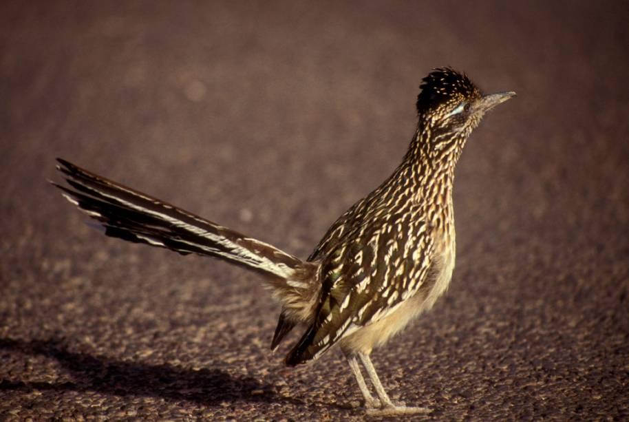 """Conhecidos como galo-corredores ou road-runners, as aves do gênero <em>Geococcyx </em>tornaram-se célebres com o personagem Papa-Léguas, da série <em>Looney Tunes</em>. Habitantes da <a href=""""http://viajeaqui.abril.com.br/continentes/america-central"""" rel=""""América Central"""" target=""""_blank"""">América Central</a> e do Norte, foi a espécie que vive no sudoeste dos Estados Unidos que inspirou o desenho, sempre dando um baile no ardiloso coiote. É a ave símbolo do estado do Novo México"""